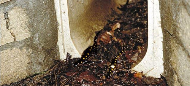 Túneis para Salamandras, Massachusetts - Estados Unidos